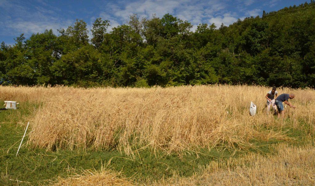 Rilievi agronomici e raccolta delle prove parcellari nelle 3 aziende coinvolte nel progetto